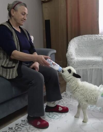Emekli çiftin neşe kaynağı yavru kuzu