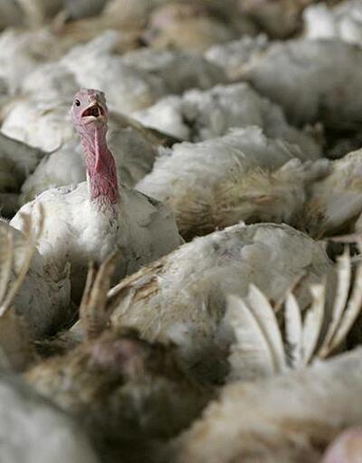 Polonya'da kuş gribi nedeniyle 25 bin hindi telef oldu