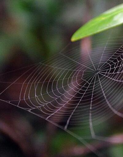Avustralya'da 'zehirli örümcek' uyarısı
