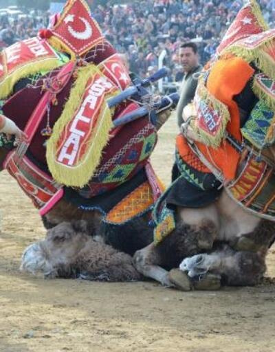 Torbalı'da deve güreşlerini 30 bin kişi izledi