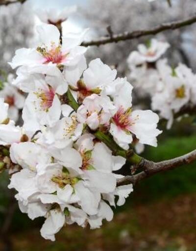 Datça'da badem ağaçları çiçek açtı