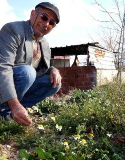 Sarıgöl'de kış ayında papatyalar açtı