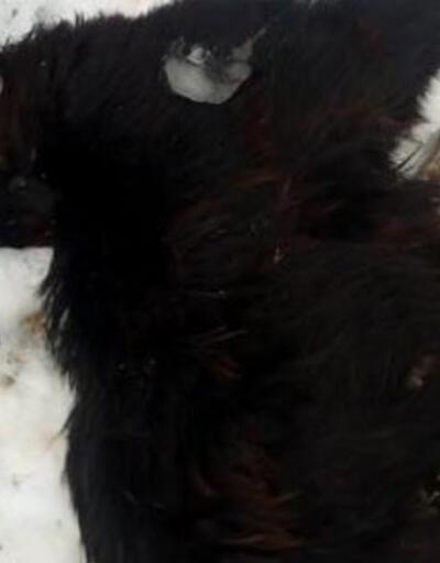 Isparta'da kurtların saldırdığı 45 keçi telef oldu