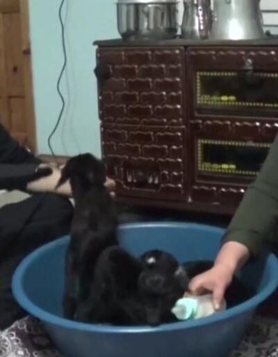 Yeni doğan oğlakları biberonla besliyorlar
