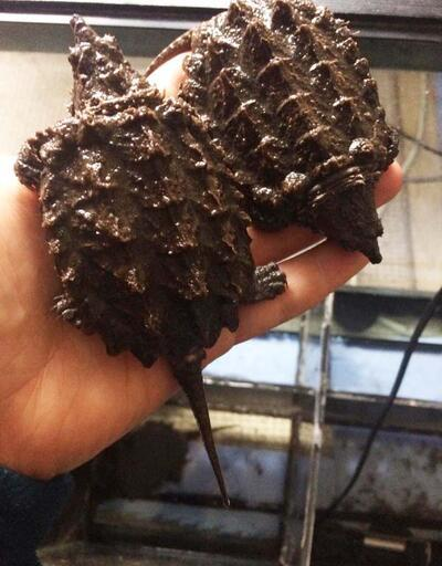 Sosyal medyada satışa çıkarılan timsah yiyen kaplumbağalara el konuldu