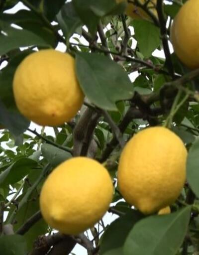 Talep arttı, limonun kilo fiyatı yükseldi