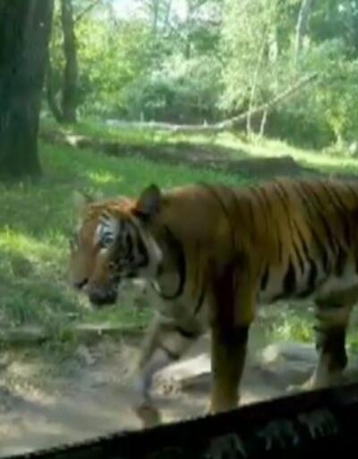Hayvanat bahçesindeki kaplanın testi pozitif çıktı