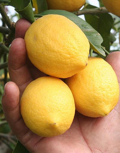 Limon dalda kaldı