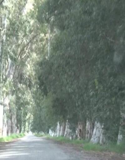 82 yıllık ağaçlara verilen zarar tepki topladı