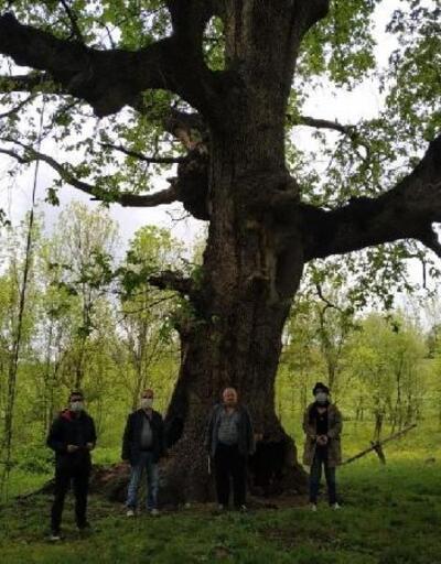Yanarak hasar gören asırlık ağaç için İnegöl Belediyesi devrede
