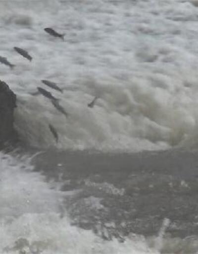 Kars'ta tatlı su kefallerinin zorlu yolculuğu