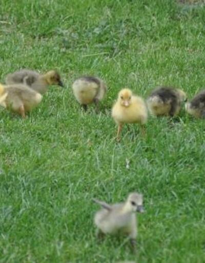Fransız kazlarıyla çiftlik kurdu, siparişlere yetişemiyor