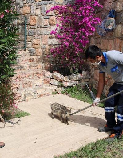 Yaban domuzu sürüsü site bahçesine girdi