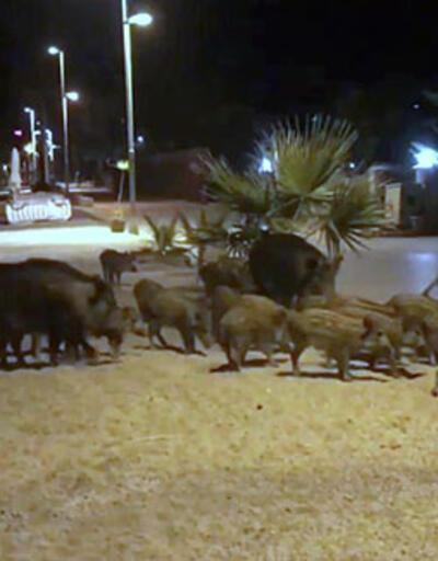 Marmaris'te domuzlar sahile indi