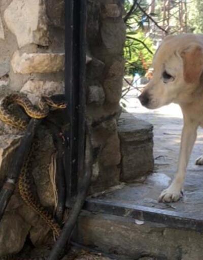 Son dakika: Yılanın köpeğe saldırması kameralara yansıdı | Video