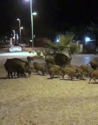 Marmaris'de domuz endişesi sürüyor