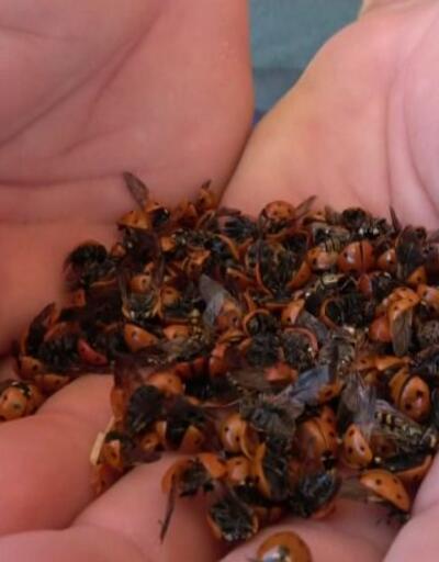 Binlerce uğur böceği sahili istila etti | Video