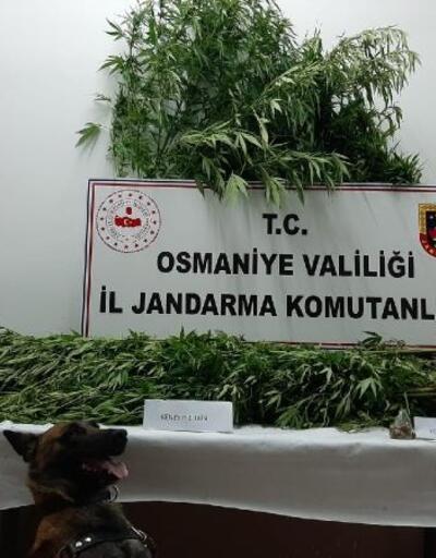 Osmaniye'de jandarmanın baskın yaptığı evde 71 kök kenevir ele geçirildi