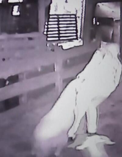 Kurbanlık hırsızları güvenlik kamerasında | Video