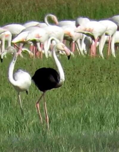 Sultan Sazlığı Milli Parkı'nda siyah flamingo görüldü