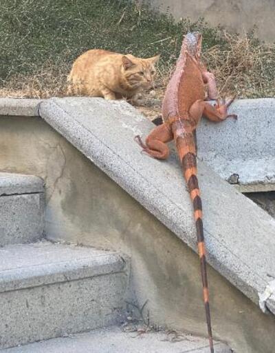 Üsküdar'da bulunan iguanaya yeni ismiyle koruma altında