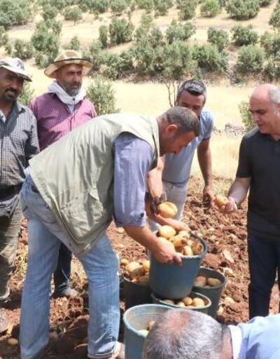 Ömerli'de patates hasadı başladı
