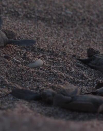 Yavru Carettalar denizle buluştu | Video
