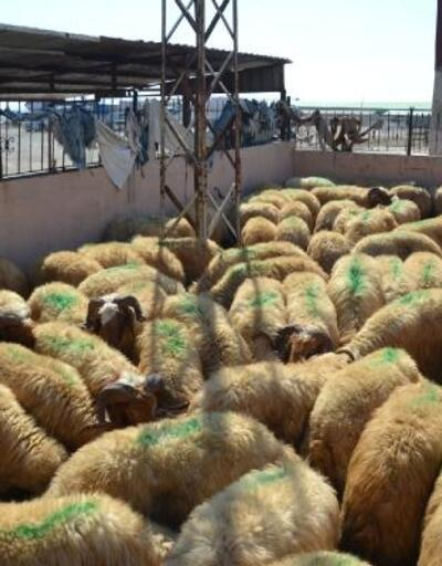 Kırıkhan'da besicilere damızlık koç dağıtıldı