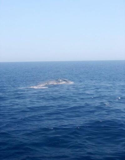Son dakika... Finike Körfezi'nde ölü balina görüntülendi
