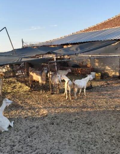 Son dakika.. Sahte EFT ile dolandırıcılara kaptırdığı 44 keçiyi jandarma buldu