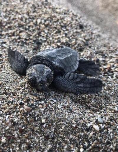 Son dakika.. 6 bin 214 caretta caretta yavrusu denizle buluşturuldu
