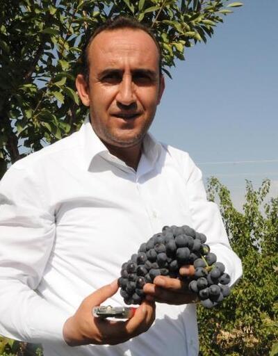İncesu'da üzüm hasadı başladı