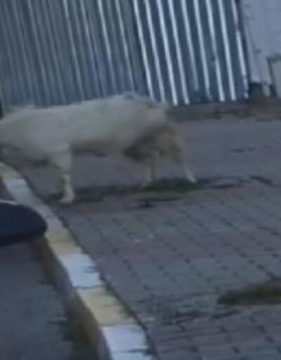 Son dakika haberleri.. Keçi, boynuz darbeleriyle araca böyle hasar verdi | Video