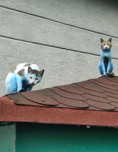 Kediler 'Şirinler'e döndü! | Video