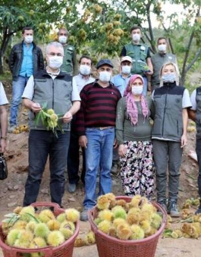 Hamamköy'de kestane hasatı başladı