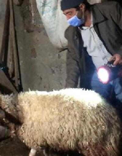 Kurtlar sürüye saldırı 35 koyun öldü