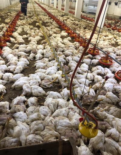 Havalandırma arızalanınca 20 bin tavuk öldü