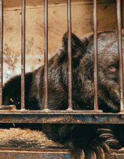 Dünyanın en yalnız ayısı Jambolina İsviçre'ye götürüldü