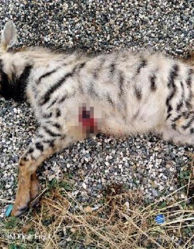Çizgili Anadolu sırtlanı silahla vurularak öldürüldü
