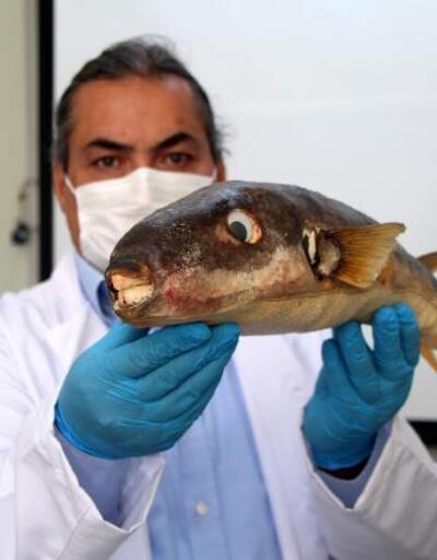 Balon balığının zehri umut olabilir | Video