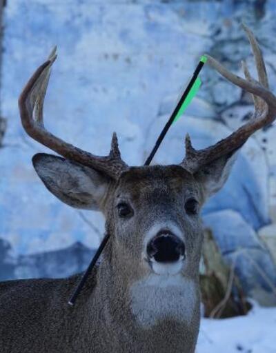 Kafasında okla yaşayan geyik görenleri şaşırttı