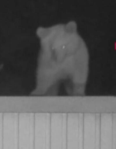 Kış uykusuna yatmayan ayılar, yiyecek bulamayınca evlere giriyorlar | Video