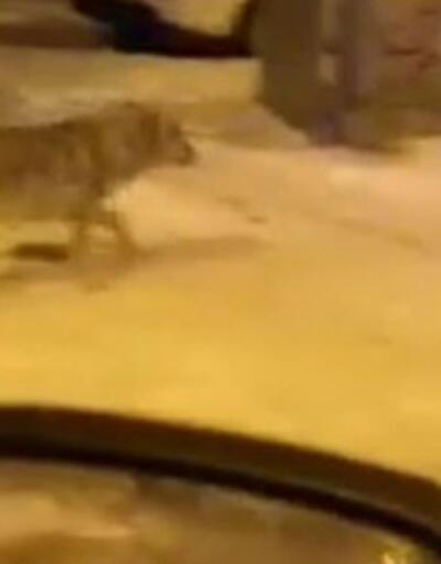 Aç kalan kurtlarSarıkamış'a indi | Video