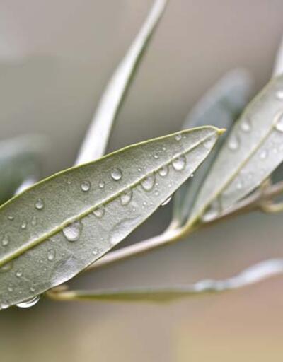Zeytin yaprağı koronavirüse şifa olacak