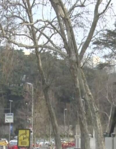 Dolmabahçe'de asırlık çınarlar kesildi   Video