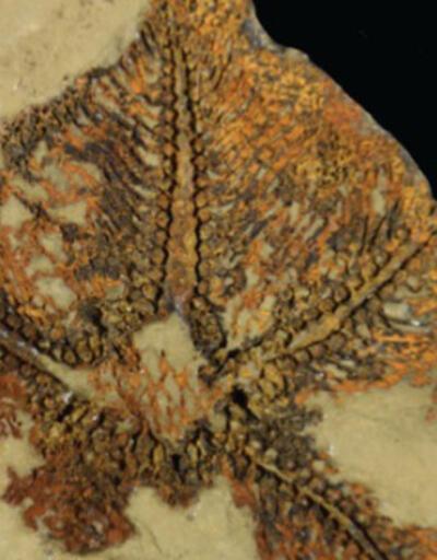 Fas'ta keşfedildi! Dünyanın bilinen en eski denizyıldızı