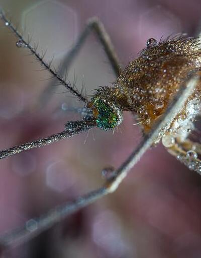 Etiyopya'da yeni bir sıtma sineği türü görüldü