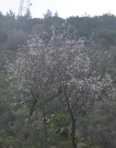 Bodrum'da badem ağaçları çiçek açtı