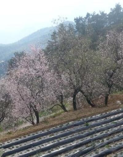 Yalancı baharda ağaçlar çiçek açtı; üretici endişeli