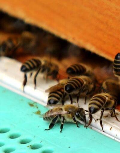İklim değişikliği arıları olumsuz etkiliyor